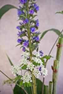 Kälberkropf Blüte