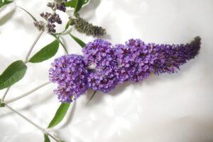 Schmetterlingsflieder Blüte 03