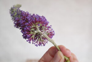 Schmetterlingsflieder Blüte 02