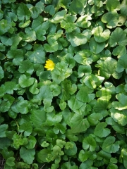 Blätter Scharbockskraut