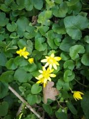 Blüten Scharbockskraut
